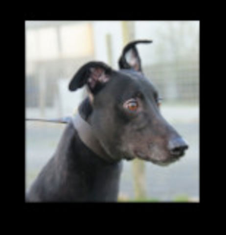 picture of the greyhound Droopys Robinho