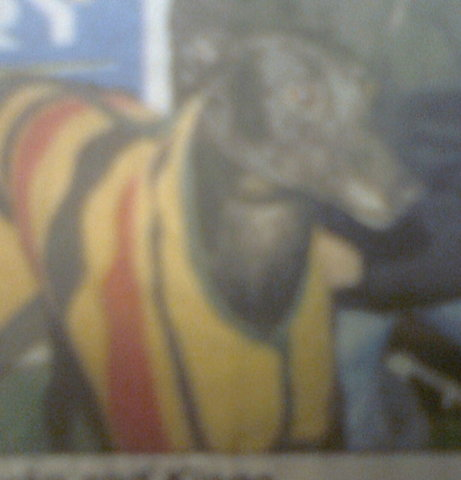picture of the greyhound Kingo