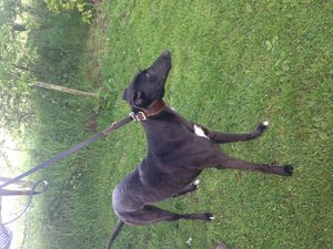 picture of greyhound Leathems Bolt