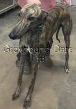 picture of greyhound Goan Tiger
