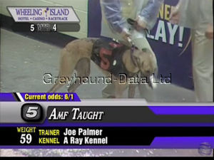 picture of greyhound Amf Taught