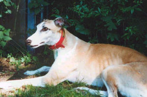 picture of greyhound Celtic Hello