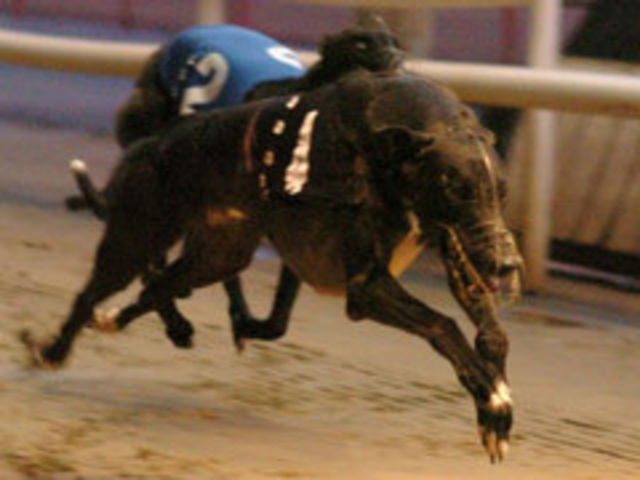 picture of the greyhound Westmead Hawk