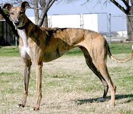 picture of greyhound Delray Courtney