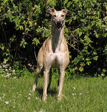 picture of greyhound Figs Twice Aroni