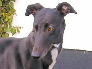 picture of greyhound First to Return
