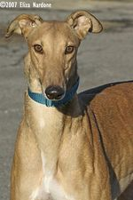 picture of greyhound Rhf Last Word