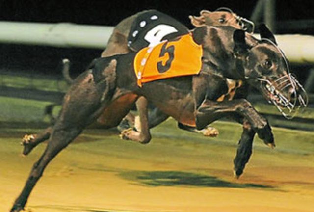 picture of the greyhound Kilgraney Tomson