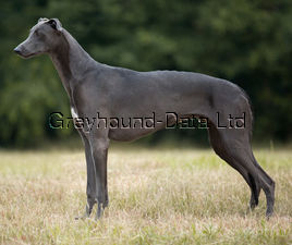picture of greyhound Nothing Else Matters
