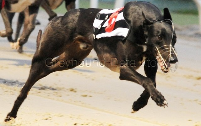 picture of the greyhound Droopys Biker