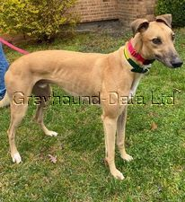 picture of greyhound SJ's Starz Man