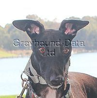 picture of greyhound B's Bennetti