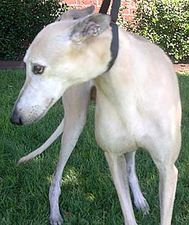 picture of greyhound Bobbye's Fancye