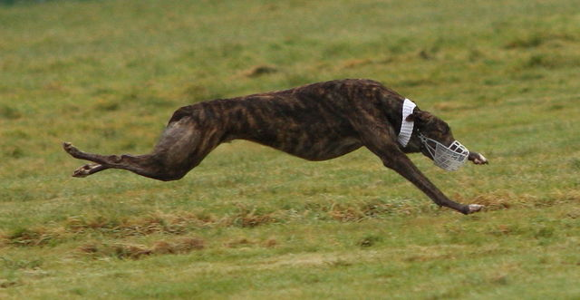 picture of the greyhound Adios Alonso