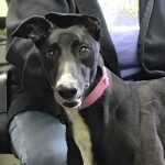 picture of greyhound DC Sweet Charity