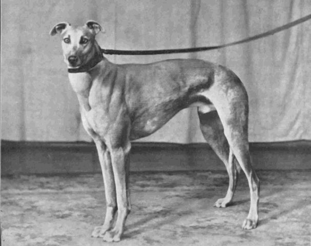 http://www.greyhound-data.com/greyhound/122934/858/Greyhound_Kilnaglory_Champion-big.jpg