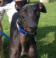 picture of greyhound Windy Bert