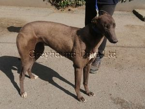 picture of greyhound Swift Wriggle