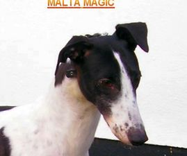 picture of greyhound Malta Magic