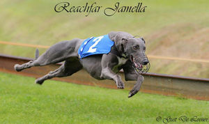 picture of greyhound Reachfar Jamella