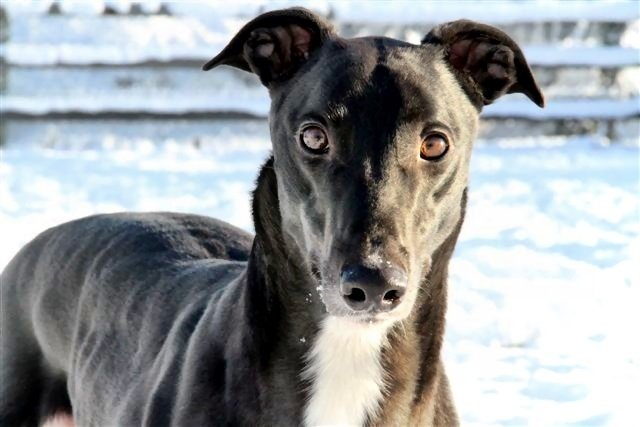 picture of the greyhound Razldazl Rioga
