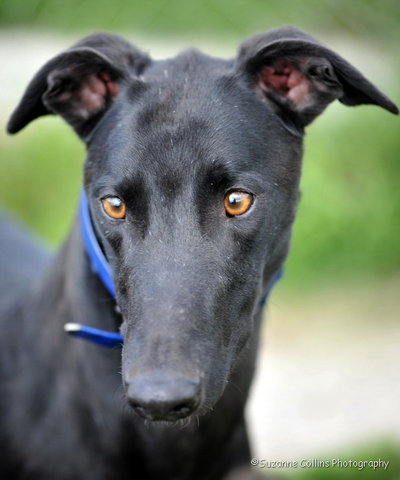 picture of the greyhound Blueview Sam