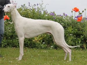 picture of greyhound Hepi Hepri East Eclat