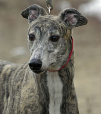 picture of greyhound Ryla