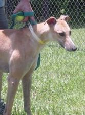 picture of greyhound Smooth Robin