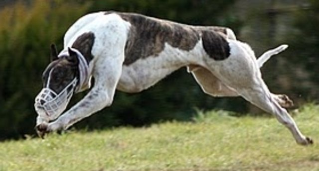 picture of the greyhound Soundmanpaddy