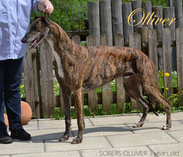 picture of greyhound Sobers Olliver