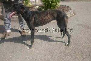 picture of greyhound Swift Vara