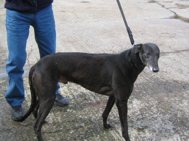 picture of the greyhound Black Shaw
