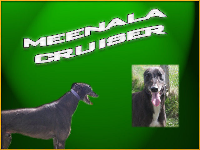 picture of the greyhound Meenala Cruiser