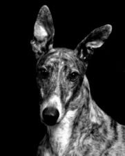 picture of greyhound Ms Wrong Dog