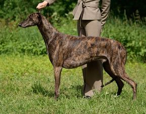 picture of greyhound Mistweave Mystic Cossack