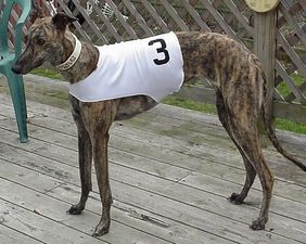 picture of greyhound N's Chicklet