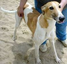 picture of greyhound Gs Shannon