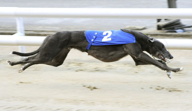 picture of the greyhound Oran Classic
