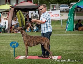 picture of greyhound Bel Etual Onyx at Romgrey