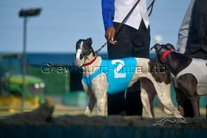 picture of greyhound Cetmark Dutchess
