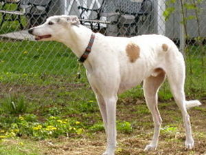 picture of greyhound Sports Cyclone