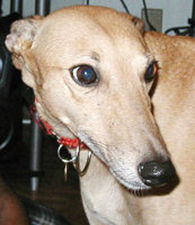 picture of greyhound Quasky HY Breeze
