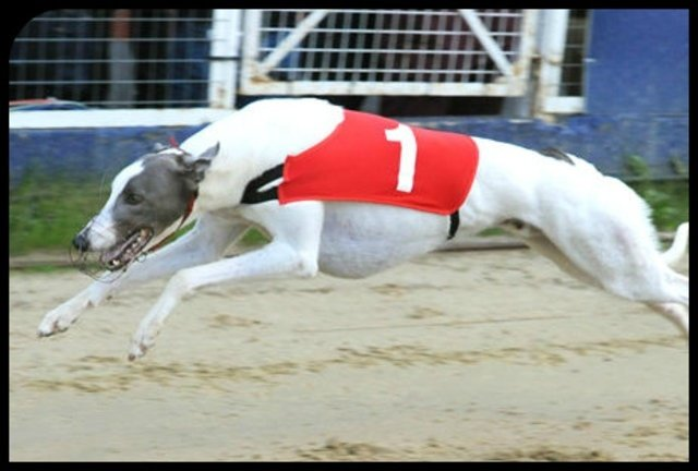 Greyhound Data Forum Dogs For Sale