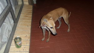 Saluki Dog For Sale In South Africa