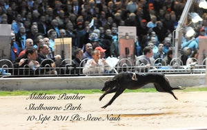 picture of greyhound Milldean Panther
