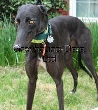 picture of greyhound Cobi's Bozica