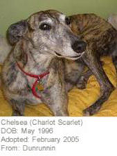 picture of greyhound Charlote Scarlet