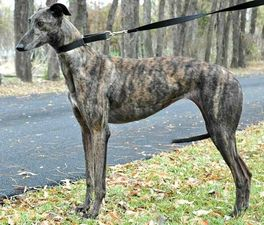 picture of greyhound Nxs Lukie Loo